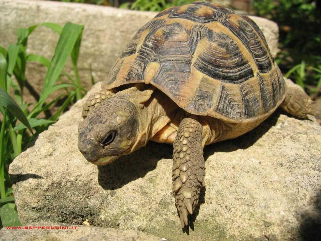 Por que a tartaruga é lenta?
