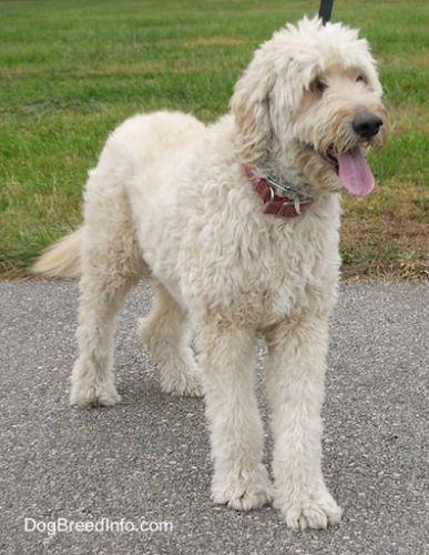 goldendoodle-golden-poodle