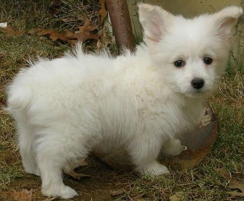 mixed-breed-dogs-corgipoo-corgi-poodle