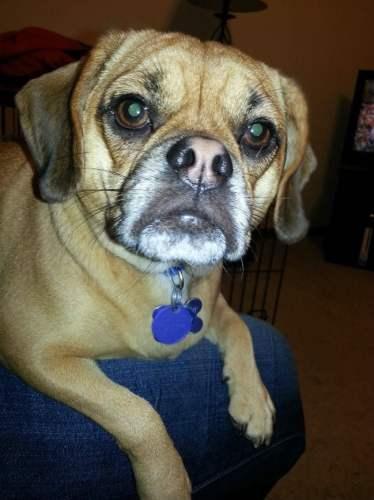 mixed-breed-dogs-puggle-pug-beagle