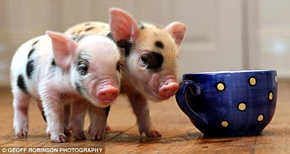 mini-porco-c