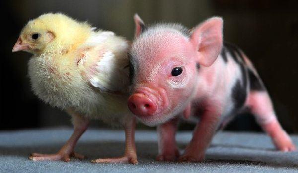 mini-porco-tudo-sobre-o-animal-que-virou-mania-no-brasil-1
