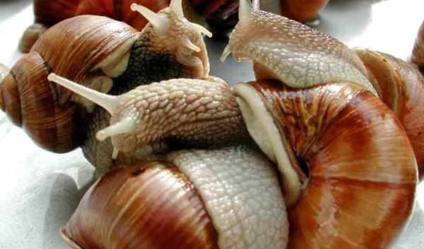 topico_38981_www-agron-com-br_1087_criacao-de-escargots-em-galpoes