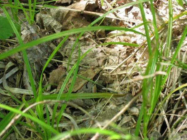 wood-frog