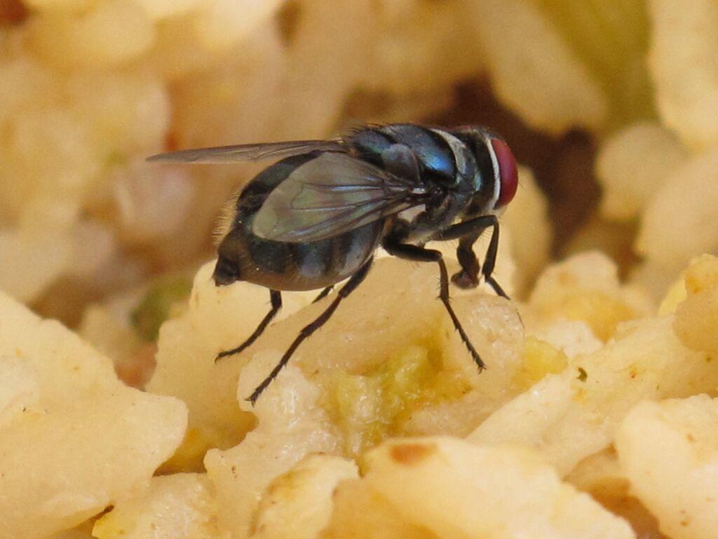 O que acontece quando uma mosca pousa em sua comida?