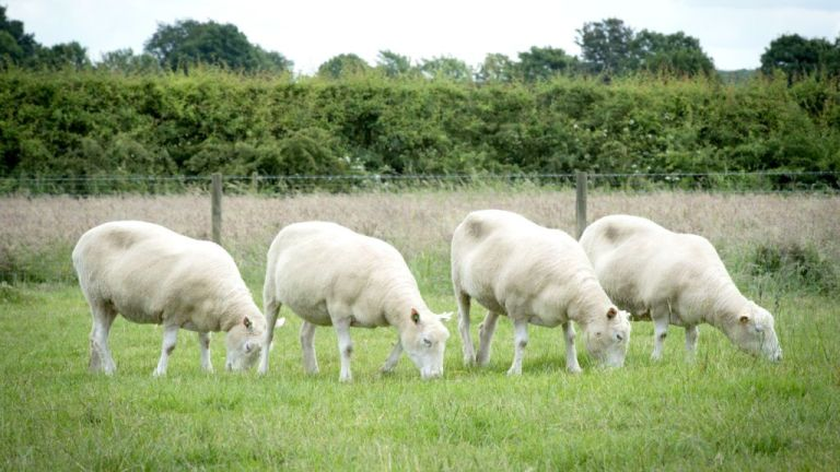 O que aconteceu com os clones da ovelha Dolly?