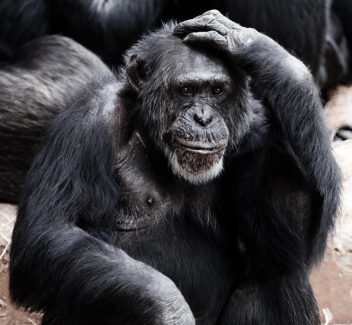 Animal Ape Black Clever 41303, Fatos Desconhecidos