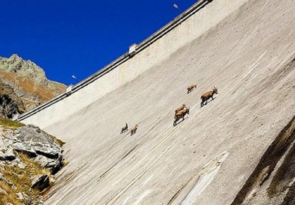 Cabras Alpinistas 07 600x418, Fatos Desconhecidos