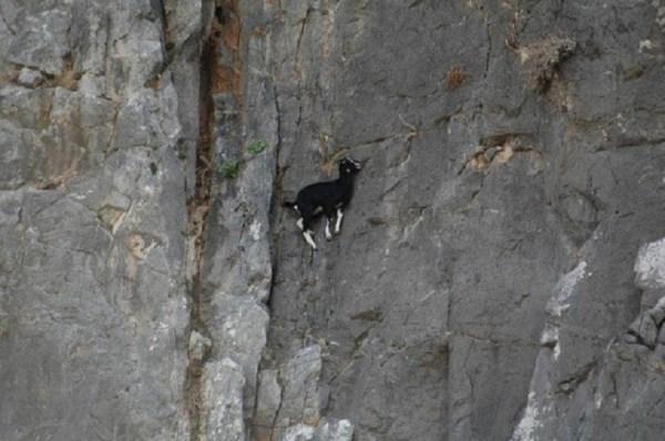 Cabras Alpinistas 13 600x398, Fatos Desconhecidos