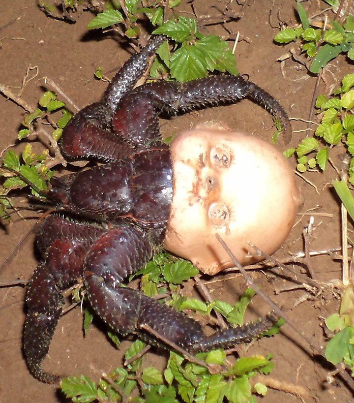 Ggp40 Hermit Crab Creepy Doll Head, Fatos Desconhecidos