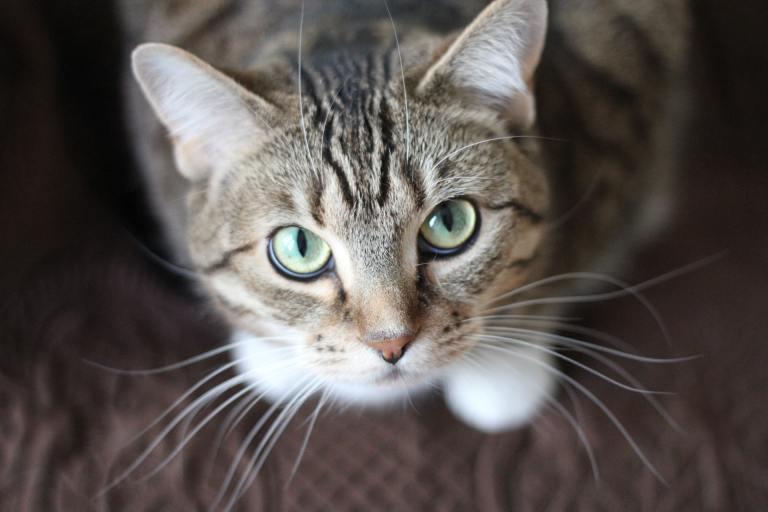 É perigoso olhar nos olhos de um gato?