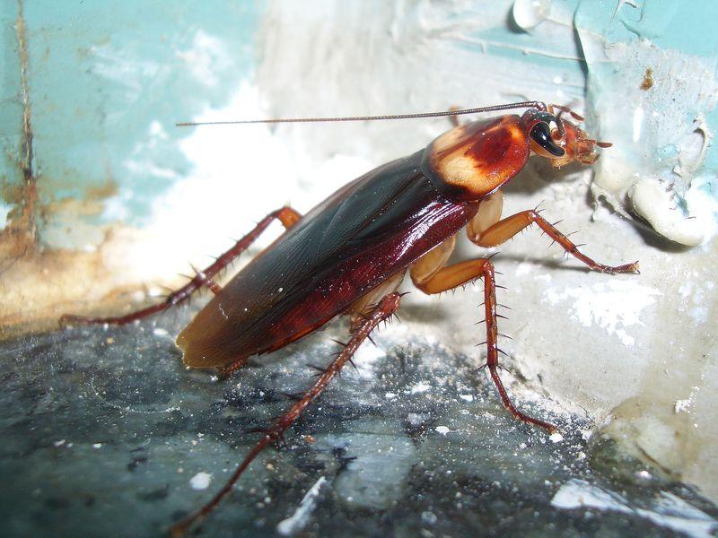 American Roach, Fatos Desconhecidos