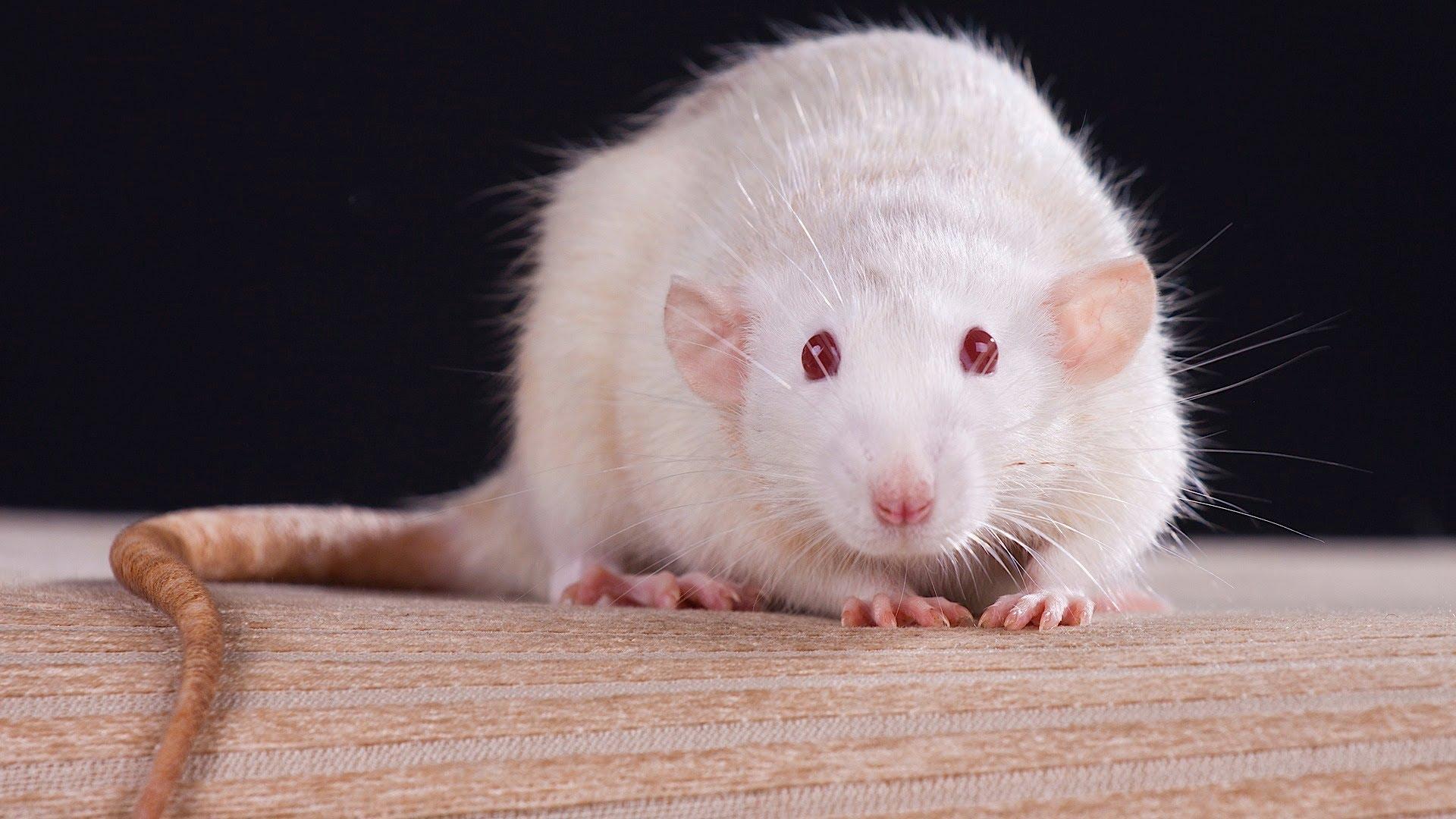 Cientistas conseguiram recuperar a visão de ratos utilizando partículas de ouro