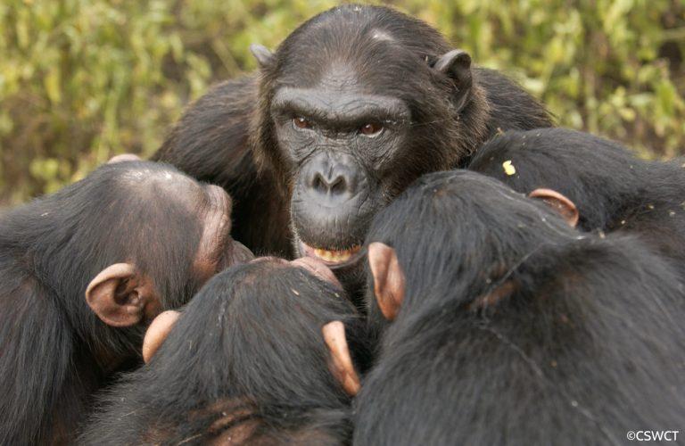 Conheça a terrível guerra entre chimpanzés que durou 4 anos