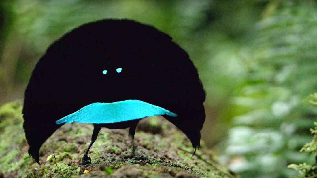 Esse incrível pássaro recém-descoberto absorve quase 100% da luz