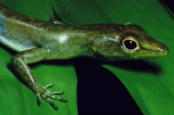 'Lagarto Alien' tem sangue verde, é tóxico e está evoluindo