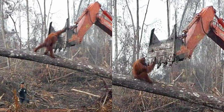 A batalha de um orangotango contra uma escavadeira que destruía a floresta