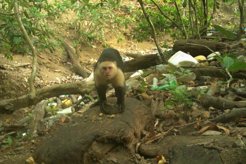 Entenda como um grupo de macacos do Panamá acaba de entrar na Idade da Pedra