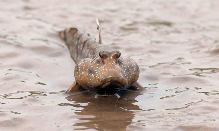 7 peixes que incrivelmente caçam animais terrestres