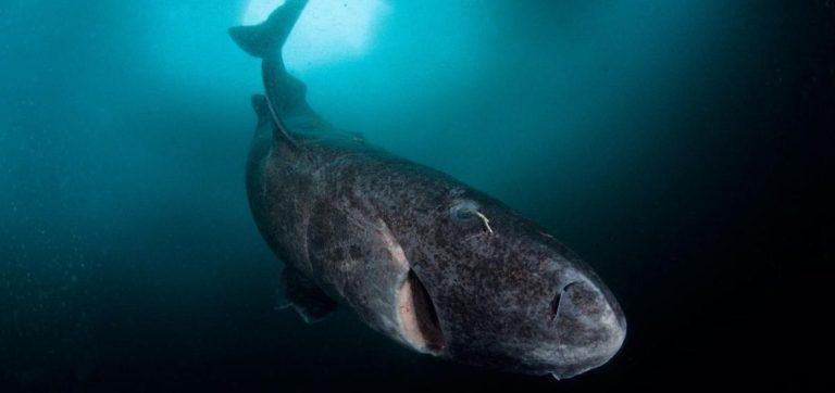 Filmaram o coração de um tubarão batendo fora do corpo e isso vai te chocar