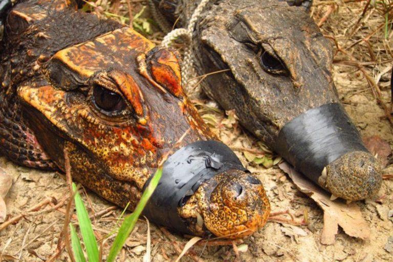 Crocodilos que vivem nessa caverna surpreendentemente estão evoluindo