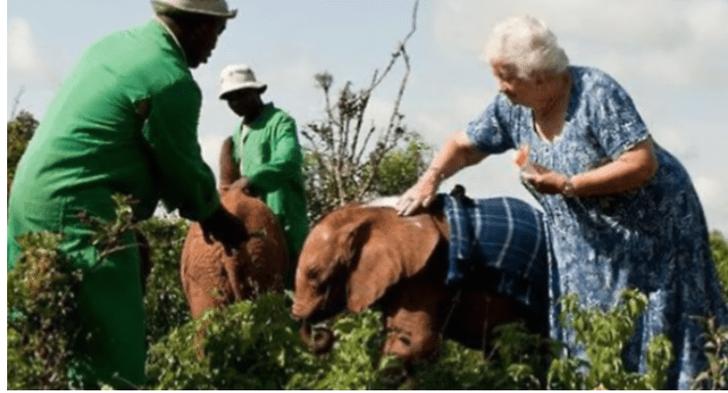 A história da mulher que cuidou por mais de 40 anos de elefantes órfãos