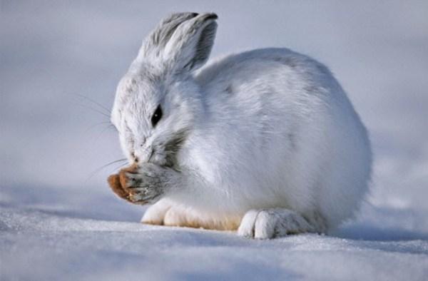 Winter Critters 131205 670x440 Hare 600x394, Fatos Desconhecidos