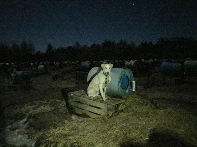 A triste realidade jamais mostrada dos cães que puxam trenós no Canadá