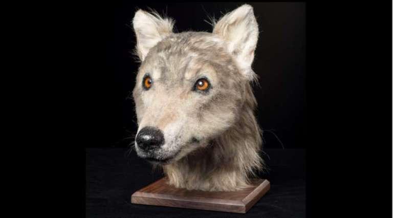 Reconstrução mostra como eram os cães há 5 mil anos