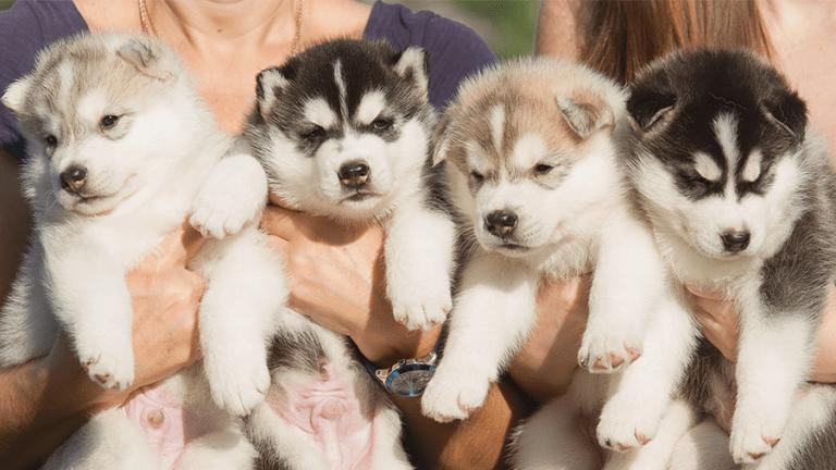 Abandono de Huskies cresce em 420% desde o início de Game of Thrones