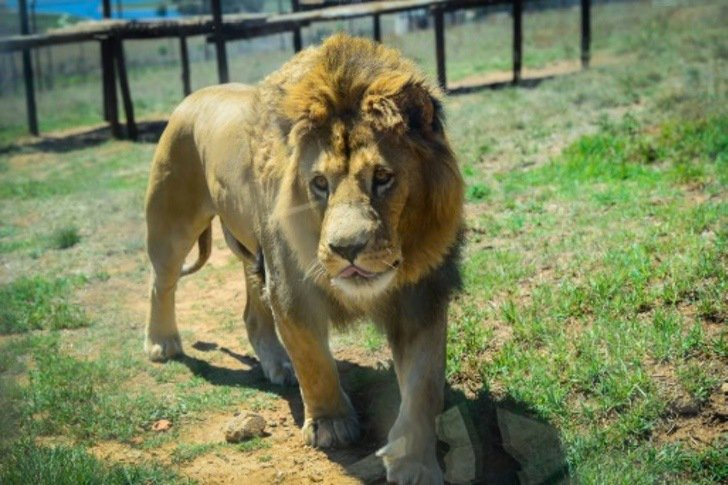 A triste vida dos leões que são criados para serem caçados