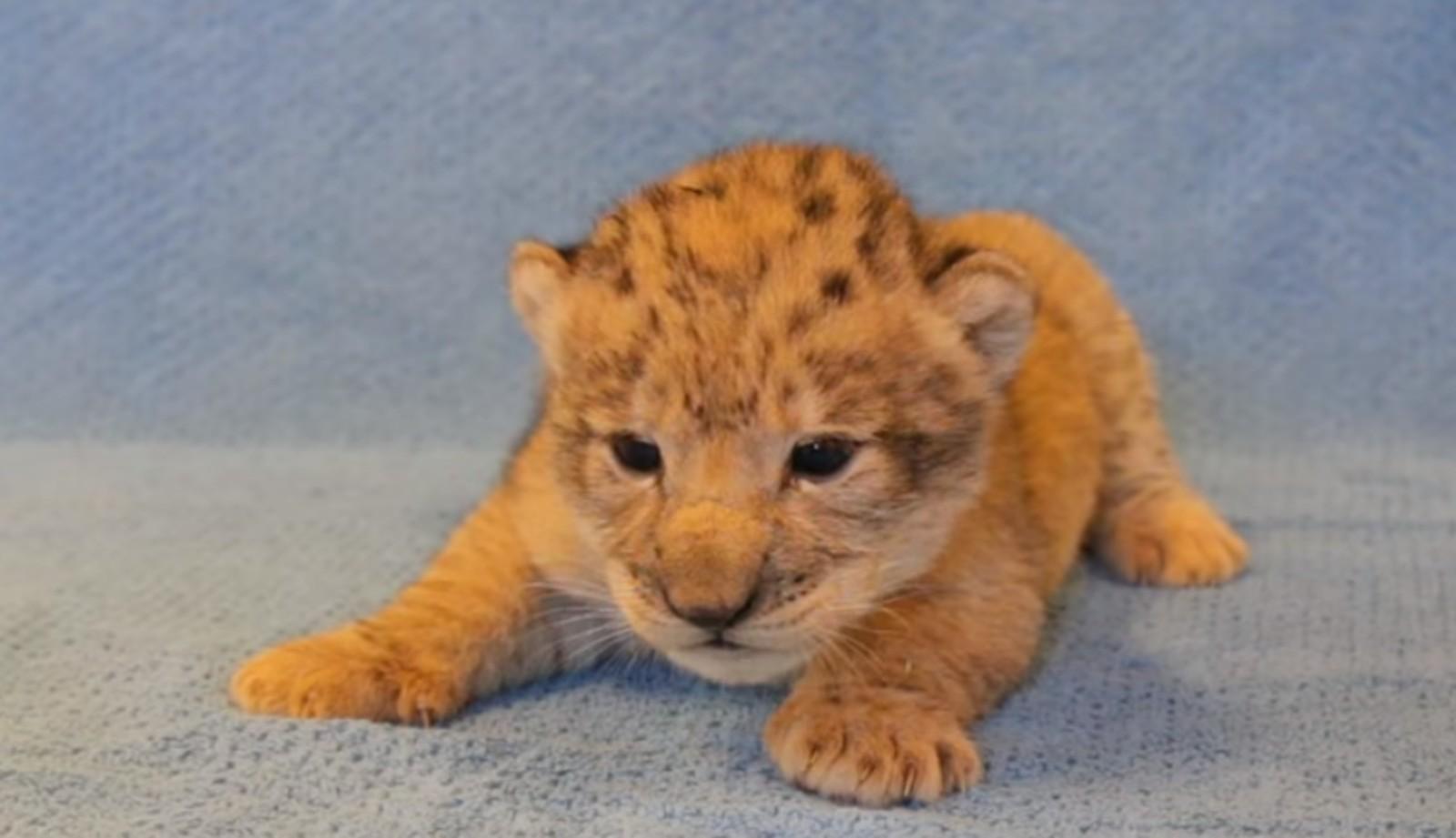 Esse foi o pequeno filhote de leão que inspirou Simba no filme live-action