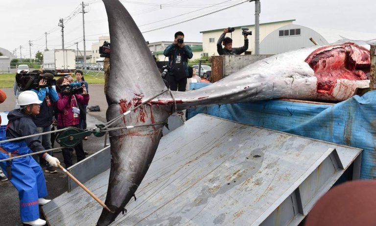 Entenda porque o Japão voltou a permitir a caça das baleias