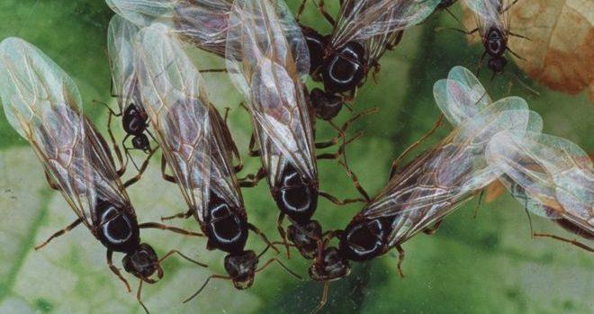 Enxame de formigas voadoras foi tão grande que pôde ser visto de satélites