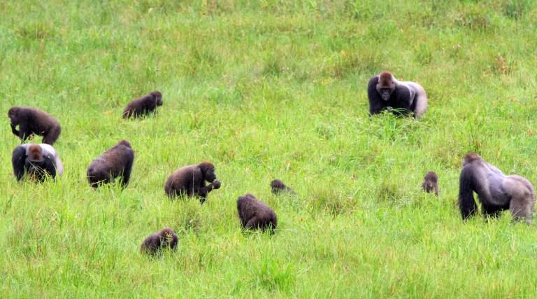 Organização social dos gorilas é bem semelhante a dos humanos