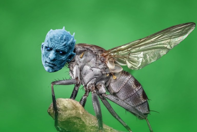 Conheça a mosca cujo nome foi dado em homenagem ao Rei da Noite, de Game of Thrones