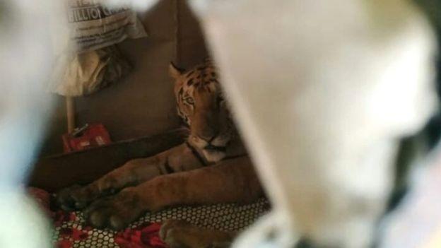 Homem tem terrível surpresa ao encontrar tigre dormindo em seu quarto