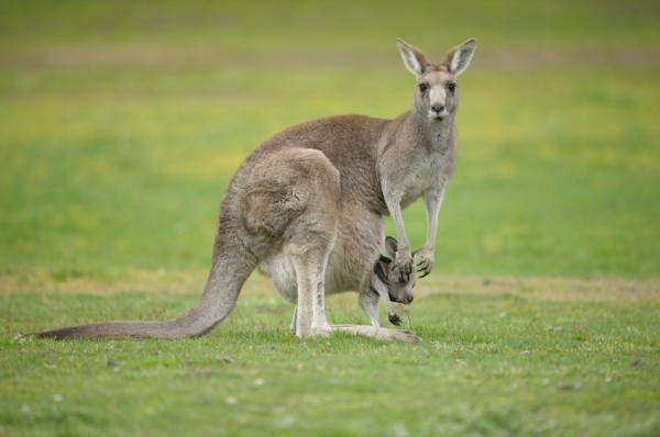 Como é dentro da bolsa de um canguru?