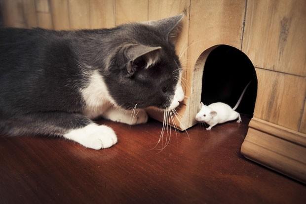 Você foi enganado! Gatos são horríveis caçando ratos