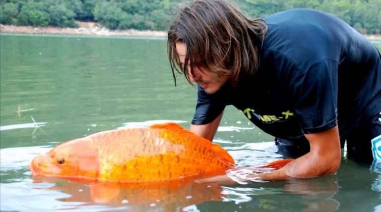 Isso é o que acontece quando jogam um peixinho dourado em um lago