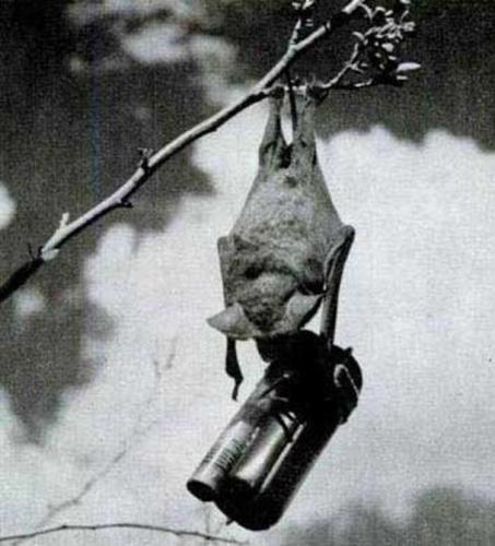 Morcego Bomba 453x500, Fatos Desconhecidos