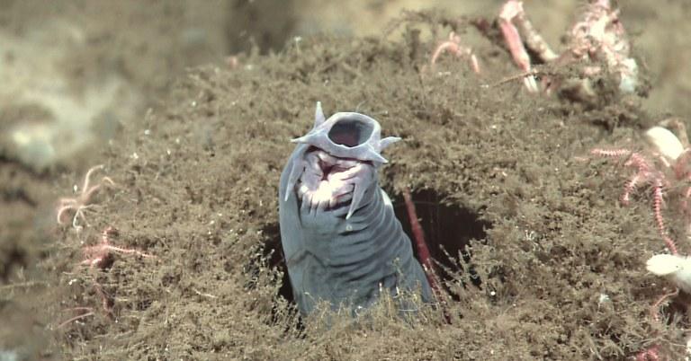 Conheça essa estranha criatura aquática que tem 5 corações
