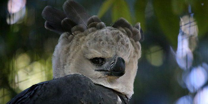 Conheça a Harpia, um dos maiores pássaros do mundo