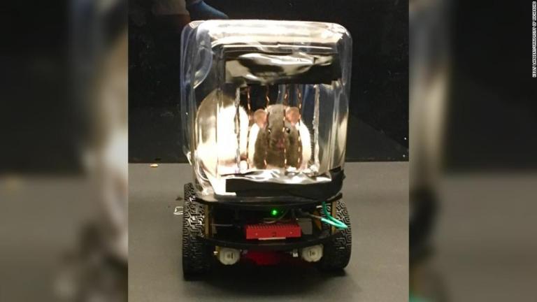 Entenda porque cientistas ensinaram ratos a dirigir