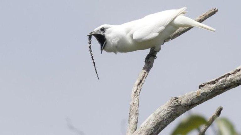 Essa estranha ave brasileira tem o mais alto canto já registrado