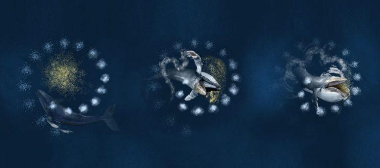 Veja o vídeo exclusivo de baleias caçando com redes feitas de bolhas