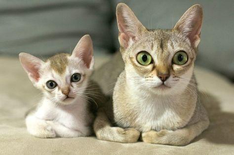 7 menores raças de gato do mundo