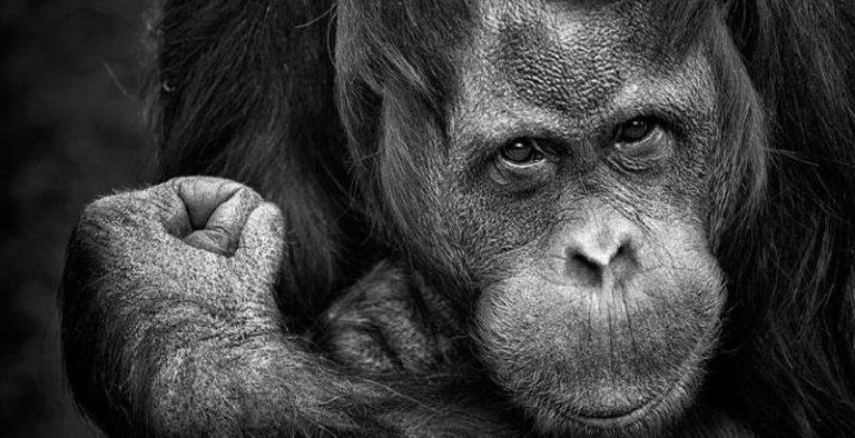 Finalmente, desvendaram qual é o idioma dos Orangotangos