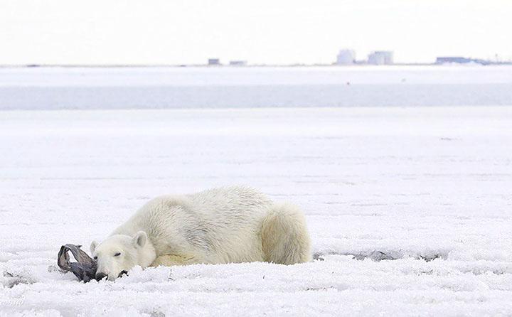 O que é essa mensagem misteriosa pichada no corpo de um urso polar?