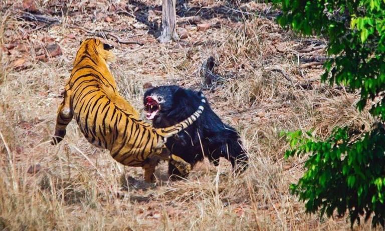 O que acontece quando um urso encontra dois tigres?